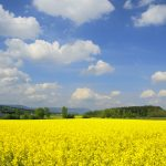 Rapsfeld in Biberist, Solothurn, Schweiz Raps, Brassica napus, Kreuzblütengewächse, Brassicaceae